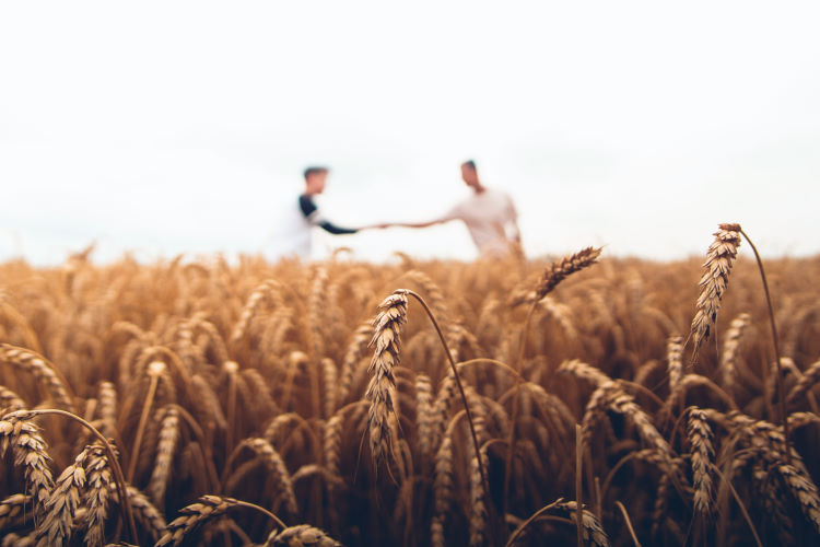 People shaking hands in field of wheat